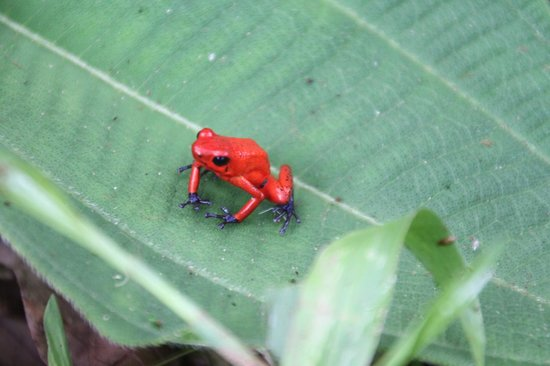 Extreme Costa Rica Tours: Blue Jeans Poison Dart Tree Frog-super tiny and beautiful.