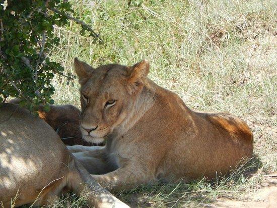 Safari Kenya Watamu - Day Tours: leonessa