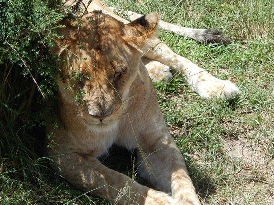 Safari Kenya Watamu - Day Tours: leonessa all'ombra