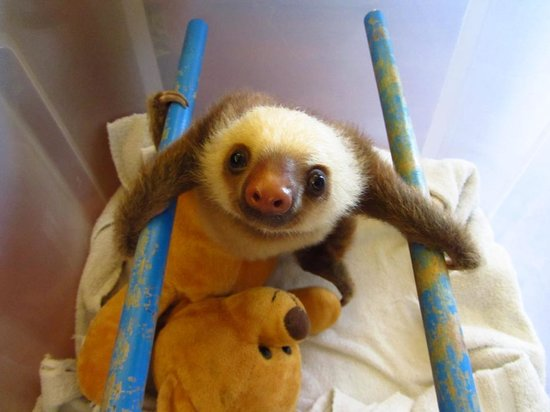 Sloth Sanctuary of Costa Rica: Verwaistes 2-Finger-Faultier-Baby