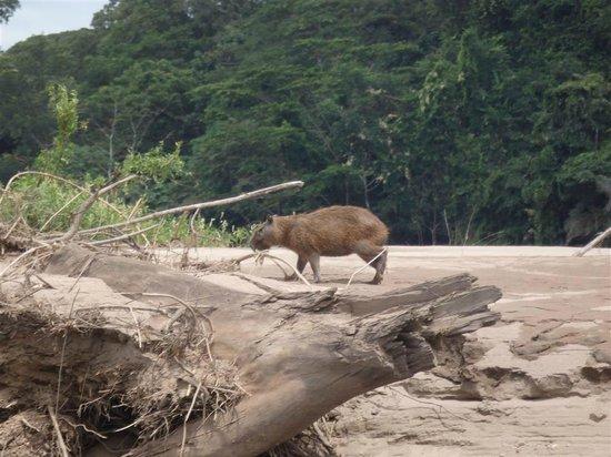 Tambopata Research Center : creatures along the banks