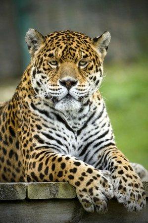 Arguedas, Espagne : Jaguar