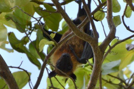 Sheraton Maldives Full Moon Resort & Spa: Nietoperz flying fox ;)