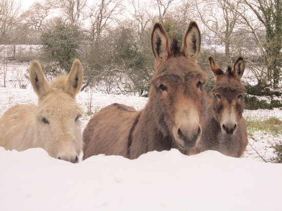 Pembrokeshire Farm B&B: Resident donkeys in the snow