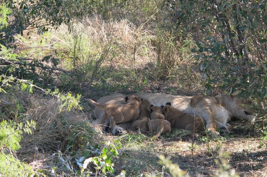 Haina Kalahari Lodge: A once in a lifetime sighting... lioness and her 5 week old cubs