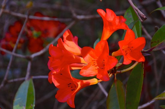 National Rhododendron Gardens: Some brilliant flowers still in bloom