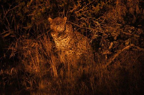 Pondoro Game Lodge: Leopard hunting