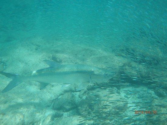 195 Chasing a tarpon at Monkey Point, Guana Island April 30