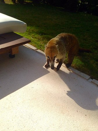 Blue Diamond Luxury Boutique Hotel: Our coati friend visiting for some snacks
