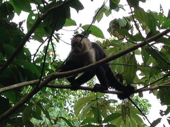 Evergreen Lodge: Capuccino Monkeys