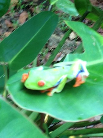 Evergreen Lodge: red eyed frog