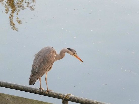 Boutique Hotel View: Our Blue Herron friend. A neighbourhood woman fed every day