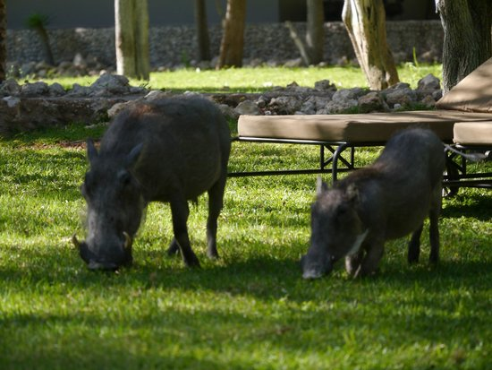 Mushara Lodge: Friendly warthogs 'mow' the lawn