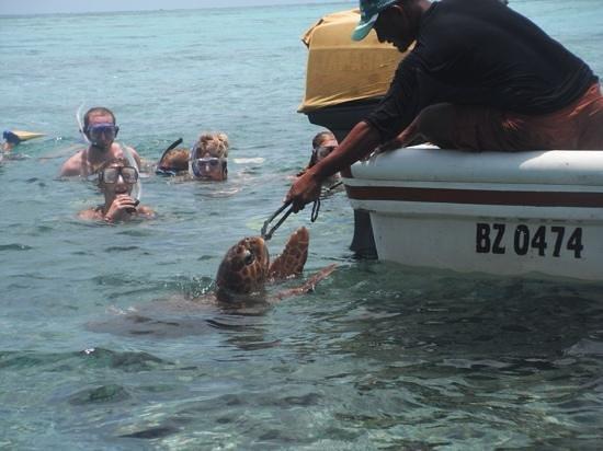 Lil Alphonse Snorkeling: Loggerhead turtle