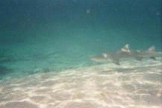 Petite Terre: un autre requin-citron