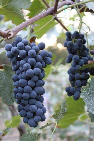 Seven Meadows Wines: Vines