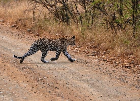 EuroZulu Guided Tours & Safaris : We spotted a leopard in Umfolozi!