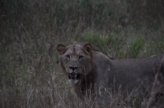EuroZulu Guided Tours & Safaris : A male lion in the early morning
