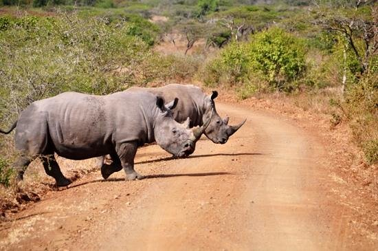 EuroZulu Guided Tours & Safaris: Rhinos in Umfolozi