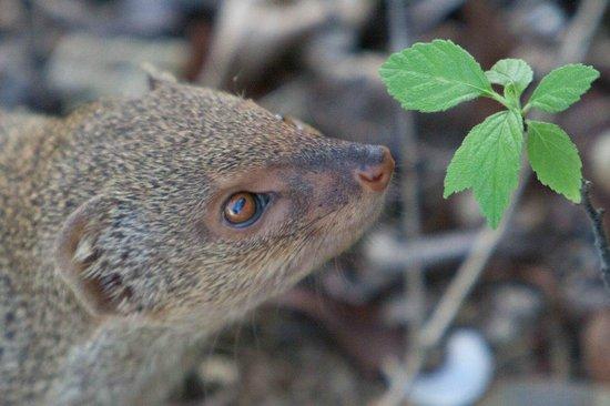 Antigua's Yepton Estate Cottages: Mongoose at Yepton Estates