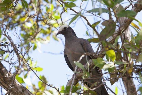 Antigua's Yepton Estate Cottages: White-crowned Pigeon at Yepton Estates