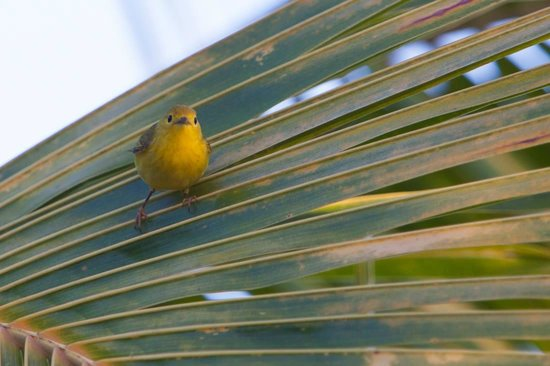 Antigua's Yepton Estate Cottages: Yellow Warbler at Yepton Estates