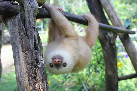 Costa Rica Wildlife Sanctuary: Tito the baby sloth