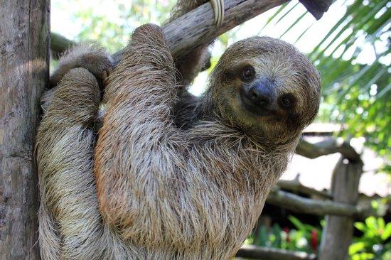 Costa Rica Wildlife Sanctuary: Snowball the baby sloth