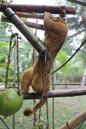 Costa Rica Wildlife Sanctuary: A kinkajou with the toy we made for them
