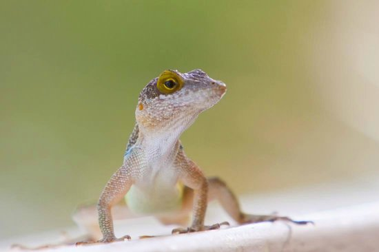 Antigua's Yepton Estate Cottages : Leach's Anole at Yepton Estates