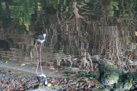 Antigua's Yepton Estate Cottages: This is an upside down picture of the water's reflection of a Black-necked Stilt.