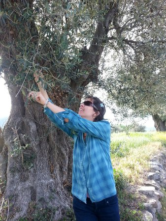 Olive Oil Tour : Sampling olives from the tree