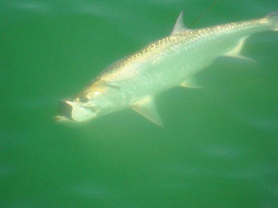 Fishing Charters with Captain Matt Santiago: Tarpon