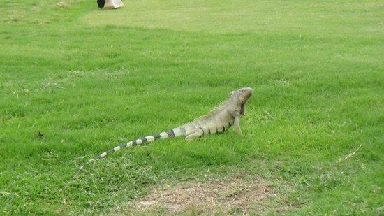 Divi Village Golf and Beach Resort: Iguana no Campo de Golfe
