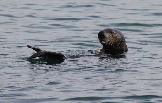 Blue Ocean Whale Watch: Sea otters start and finish your trip with Blue Ocean!