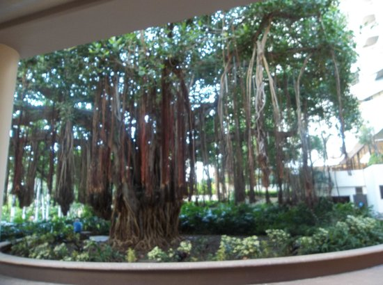 Hale Koa Hotel: Gus the Banyan tree
