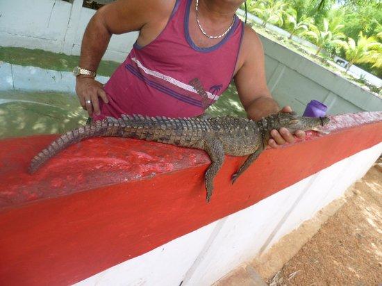 Sol Cayo Coco : cocodrille de 2 mois