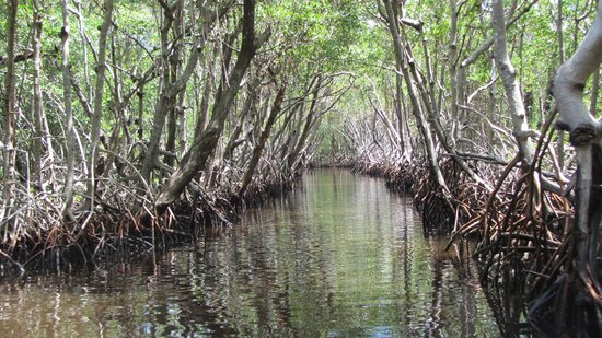 Captain Jack's Airboat Tours : Mangrove Alley