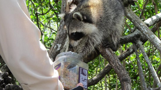 Captain Jack's Airboat Tours : Raccoon Feeding
