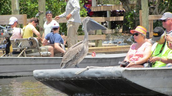 Captain Jack's Airboat Tours: Pelican hitching a lift!