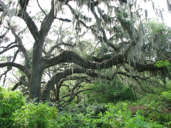 Brookgreen Gardens: Old tree with moss