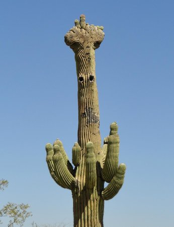 Tohono Chul: Amazing crowned saguaro