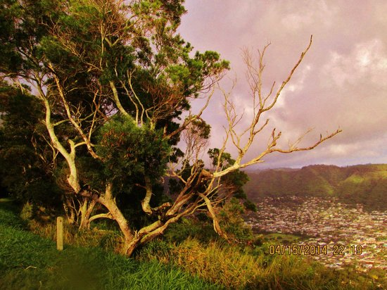 Tantalus Lookout Puu Ualakaa State Park : Who sees beauty in a weathered and worn tree. I do
