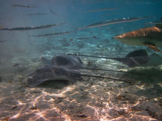 Maohi Nui : Swimming with the sharks and stingrays