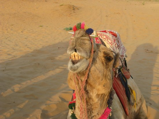 Pushkar Camel Safari - Day Tours: Camello