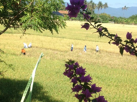 Bali Paradise Hotel Boutique Resort: Local family working the rice field