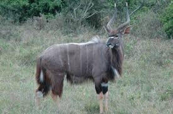 Bonamanzi Game Reserve: Accommodations visited by Nyala