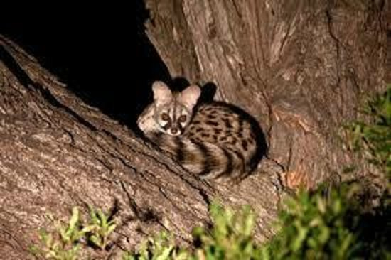 Bonamanzi Game Reserve: Our resident Gennat Cat at Game Lodge