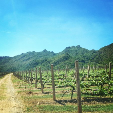GranMonte Vineyard: New shoots on the vines