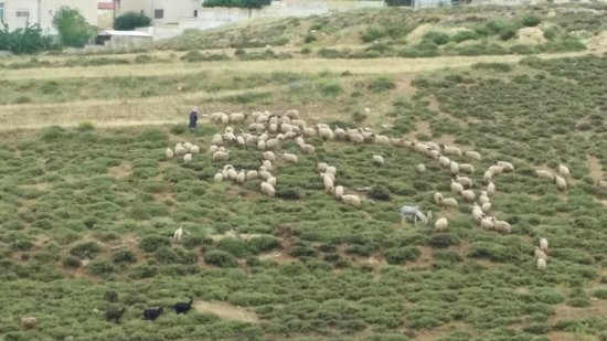 Amman International Hotel : Sheep herder view from room